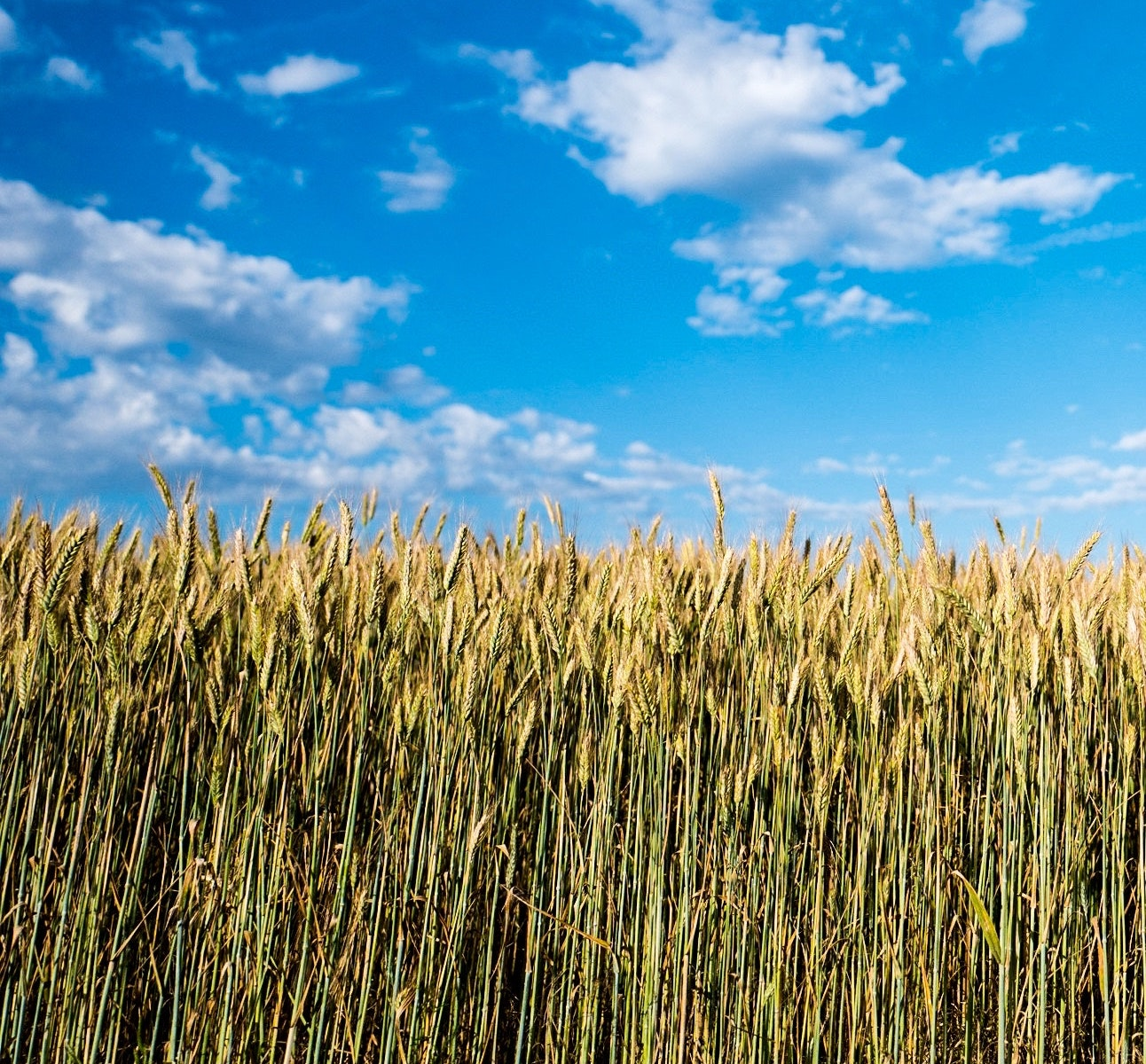 wide shot of prairies crops with a bright blue sky